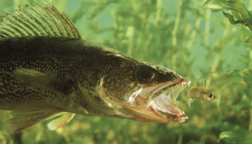 Walleye Takes Minnow